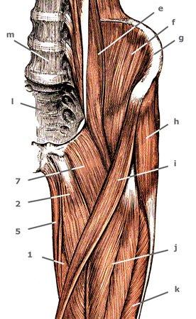 M. pectineus