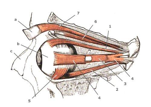 Augenmuskeln in der Seitansicht