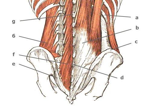 tiefer Bauchmuskel: M. quadratus lumborum
