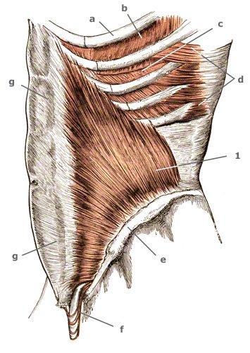 Zwischenrippenmuskeln schräg seitlich