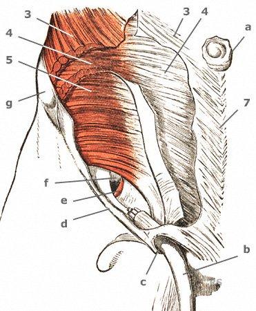 Die Schichten der seitlichen Bauchmuskeln