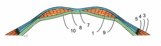 Bauchwand mit Bauchmuskeln im Querschnitt