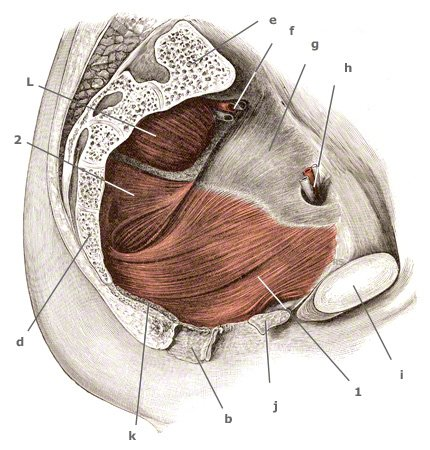 Beckenbodenmuskeln von der Innenansicht