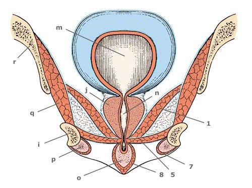 Anschnitt der Beckenbodenmuskulatur in der Frontalebene