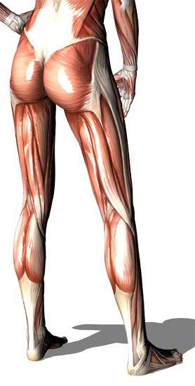 Beinmuskeln von hinten schräg