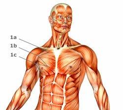 Brustmuskeln - Brustmuskel-Anatomie