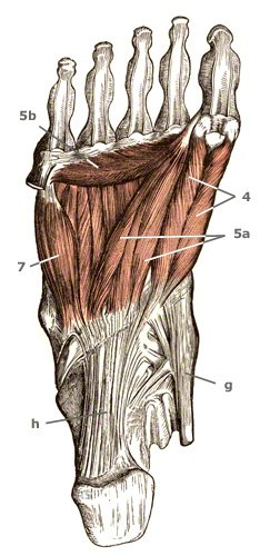 Sehnenansatz: hinterer Schienbeinmuskel