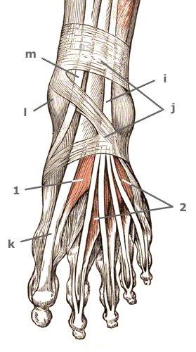 Fußmuskulatur des Fußrückens