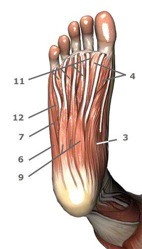Fußmuskulatur an der Fusssohle