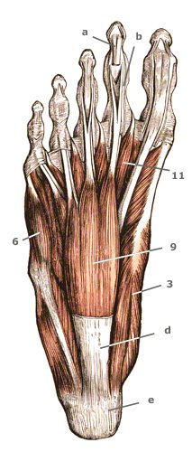 oberflaechliche Fußmuskulatur