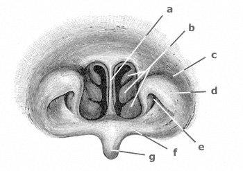 Gaumenmuskeln: Blick von hinten in die Nasenhöhle