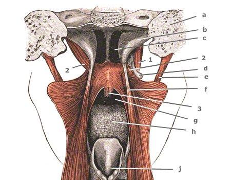 Musculus stylopharyngeus von hinten