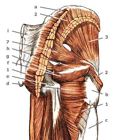 Gesäßmuskeln von hinten
