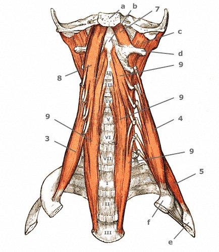 tiefe Halsmuskeln: Longusgruppe