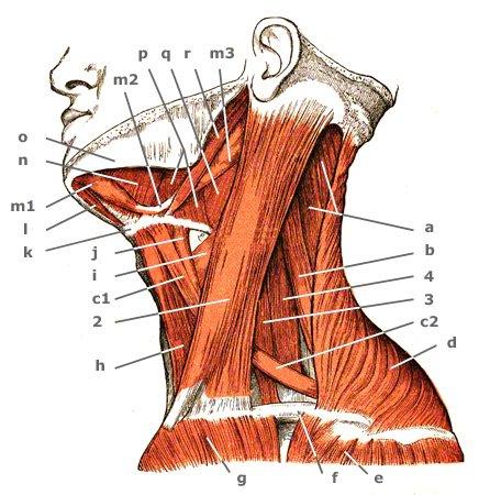 Kiefer-Zungenbeinmuskel von der Seite