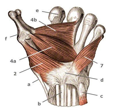 Handmuskulatur: Die Daumenballenmuskulatur