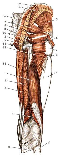 äußere Hüftmuskeln von hinten