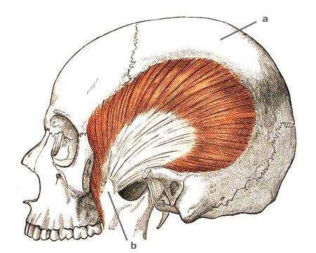 Der grösste Kaumuskel: M. temporalis