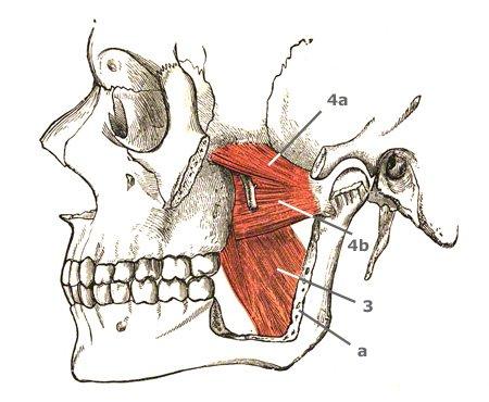 Kaumuskeln: Darstellung der Flügelmuskel