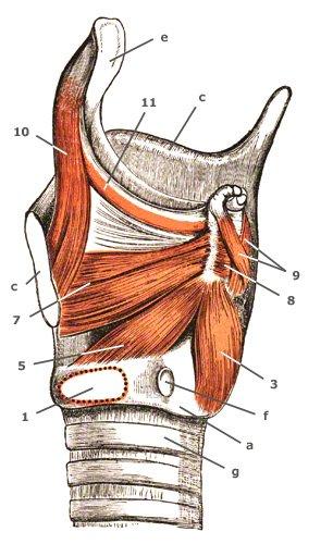 M. cricoarytaenoideus lateralis von der Seite