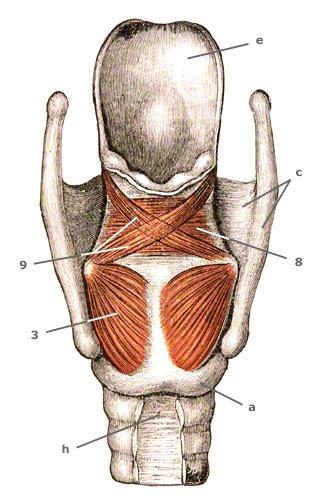 M. cricoarytaenoideus posterior von hinten
