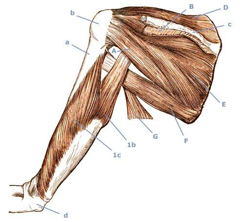 M. triceps brachii am Oberarm