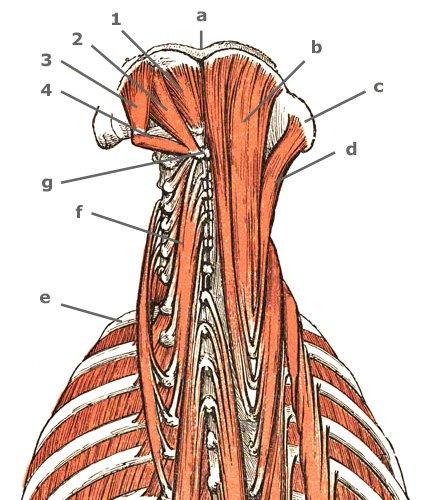 Nackenmuskeln in der Sicht von hinten