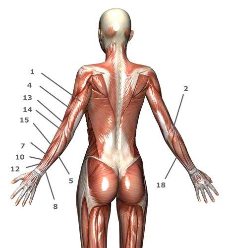Armmuskulatur: Oberarmmuskulatur und Unterarmmuskulatur