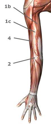 Oberarmmuskulatur von hinten