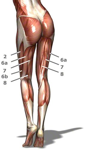 Oberschenkelmuskeln von hinten