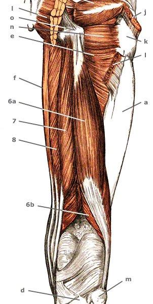 M. vastus lateralis von hinten