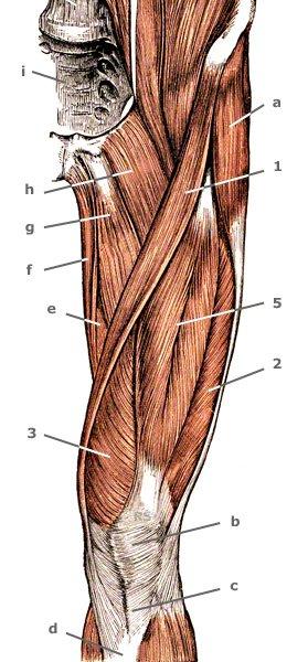 Oberschenkelmuskeln auf der Vorderseite