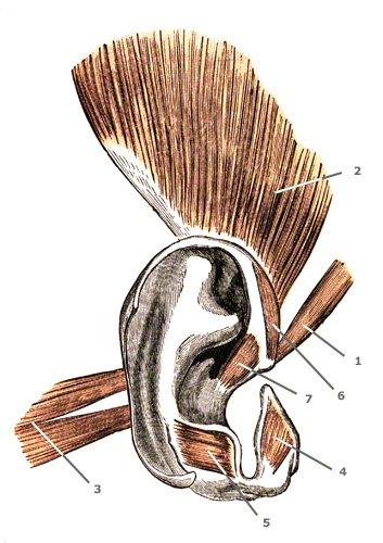 äußere rudimentäre Ohrmuskulatur