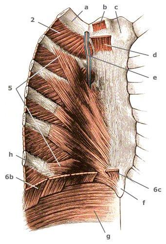 Ursprünge des Musculus sternothyreoideus
