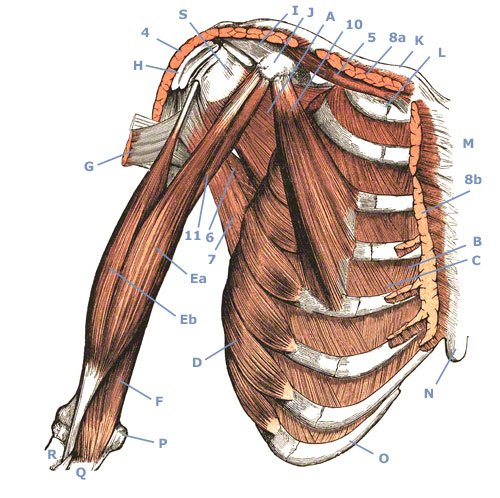 M. coracobrachialis - Rabenfortsatzmuskel