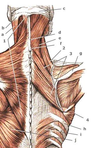 hintere Schultergürtelmuskeln