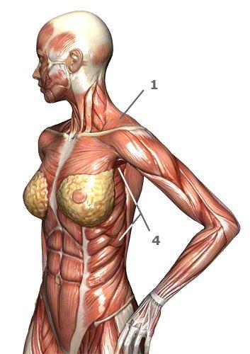 Schultergürtelmuskulatur des Menschen