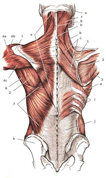 Schultermuskulatur: oberflächliche und tiefe Schicht