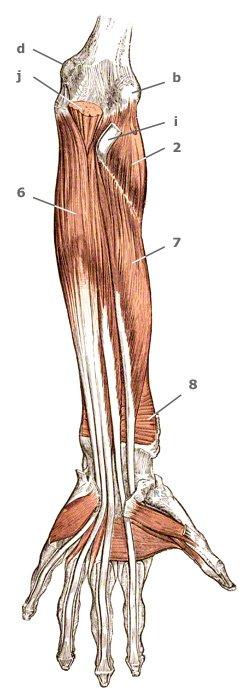 tiefe Unterarmmuskeln der Beuge-Seite