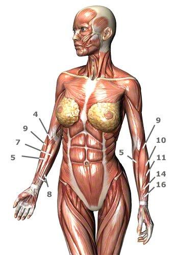 Unterarmmuskulatur: Unterarmmuskeln des Menschen