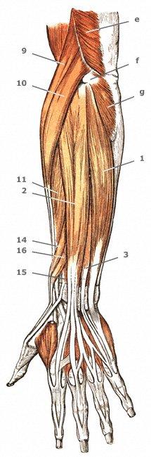 oberflächliche Strecker-Gruppe der Unterarmmuskulatur