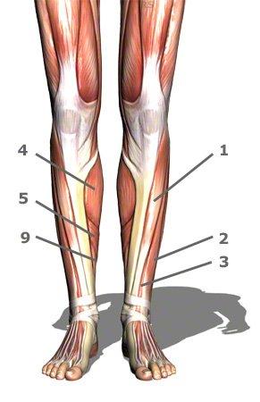 vordere Unterschenkelmuskulatur