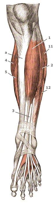 oberflächliche Muskeln am Unterschenkel