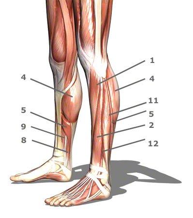 Wadenmuskeln von der Seite gesehen