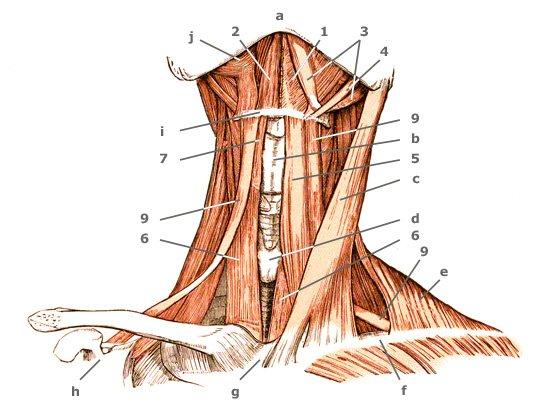 Schulterblatt-Zungenbeinmuskel von vorne